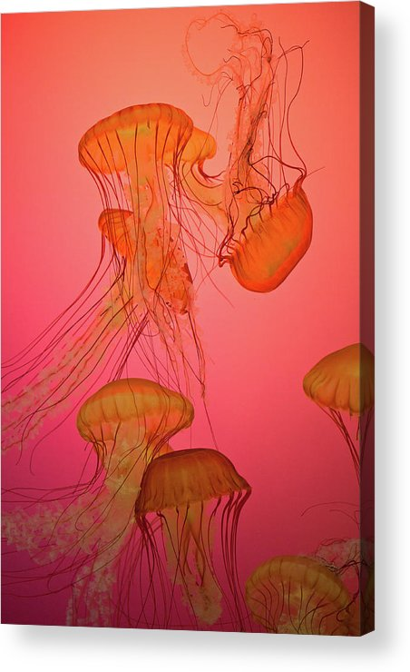 Orange Acrylic Print featuring the photograph Enchanted Jellyfish 3 by Pam Fong