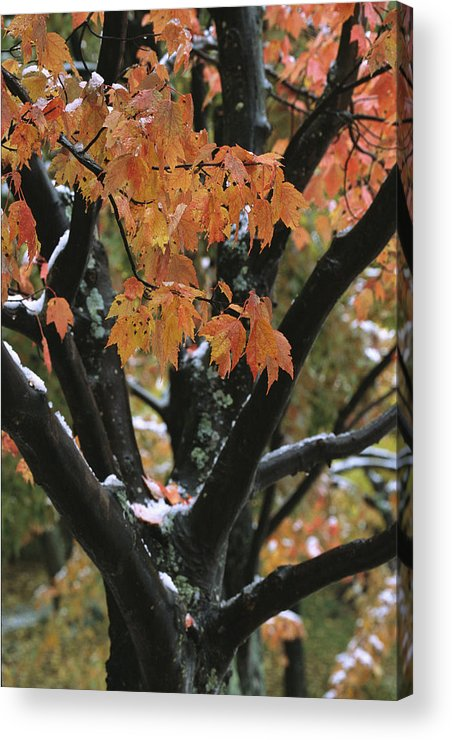 Outdoors Acrylic Print featuring the photograph Fall Foliage Of Maple Tree After An by Tim Laman
