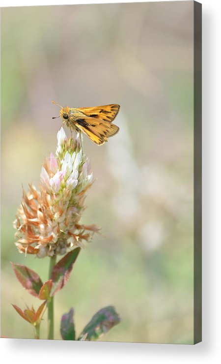 Skipper Butterfly Acrylic Print featuring the photograph Fiery Skipper by Kathy Gibbons