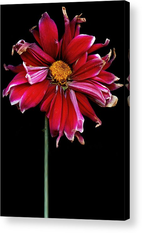 Flower Acrylic Print featuring the photograph Flower - Bad Hair Day by Mike Savad