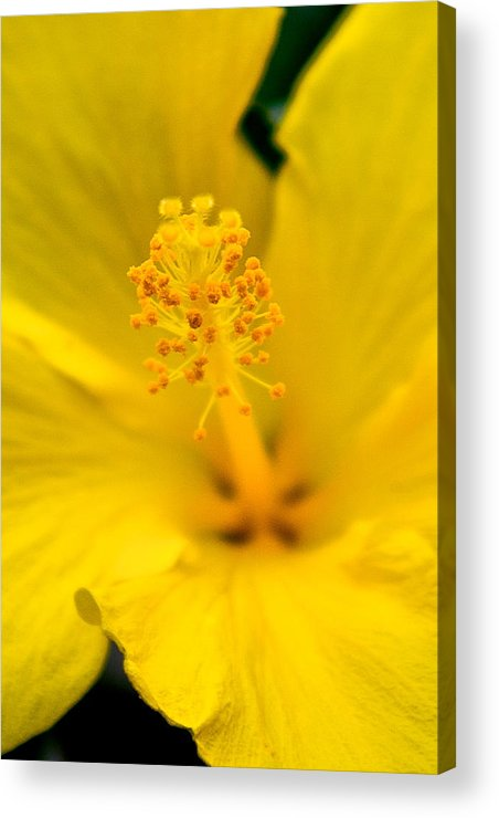 Yellow Flower Acrylic Print featuring the photograph Flower 7 by Burney Lieberman