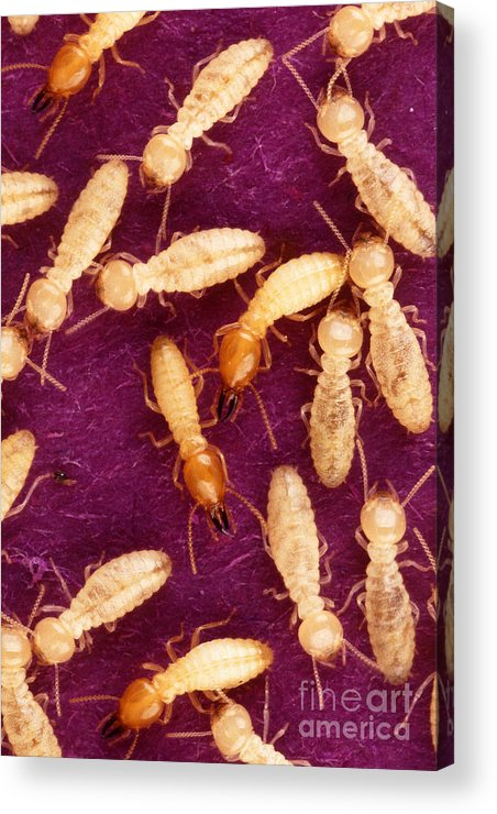 Formosan Termite Acrylic Print featuring the photograph Formosan Termites by Science Source