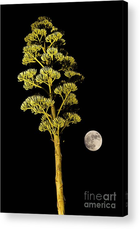 Agave Acrylic Print featuring the photograph Full Moon by Juan Silva