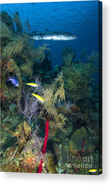 Barracuda Acrylic Print featuring the photograph Great Barracuda, Belize by Todd Winner