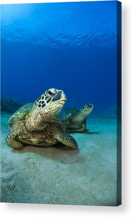 Blue Acrylic Print featuring the photograph Green Sea Turtle Couple by Dave Fleetham