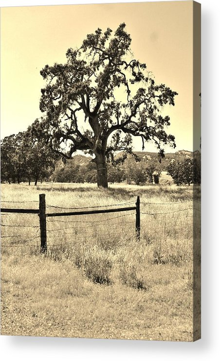 Oak Tree Acrylic Print featuring the photograph Growing Old by Justin Smith