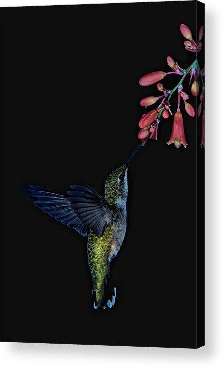 Hummingbird Acrylic Print featuring the photograph Hummingbird No 2 by Paul M Littman
