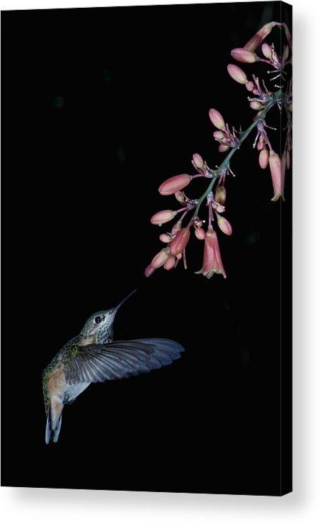 Hummingbird Acrylic Print featuring the photograph Hummingbird No 7 by Paul M Littman