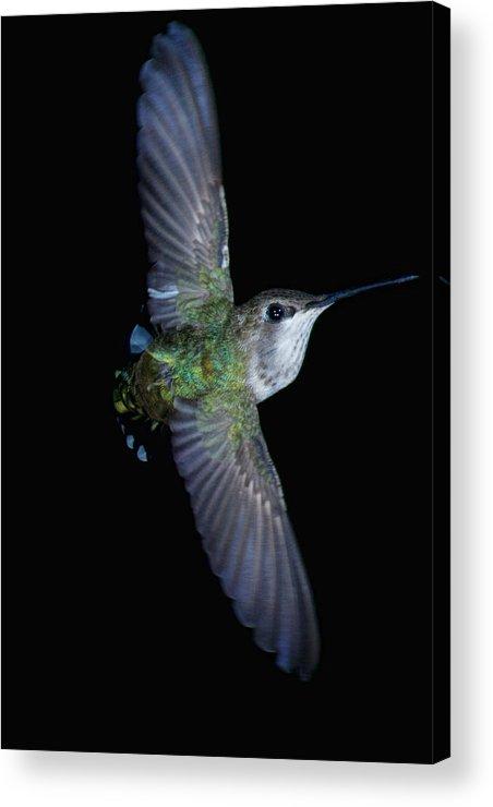 Hummingbird Acrylic Print featuring the photograph In Flight by Paul M Littman