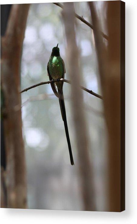 Hummingbird Acrylic Print featuring the photograph Jamaican Streamertail Hummingbird by Andrea OConnell