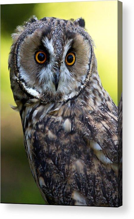 Birds Acrylic Print featuring the photograph Juvenile Long Eared Owl by Celine Pollard