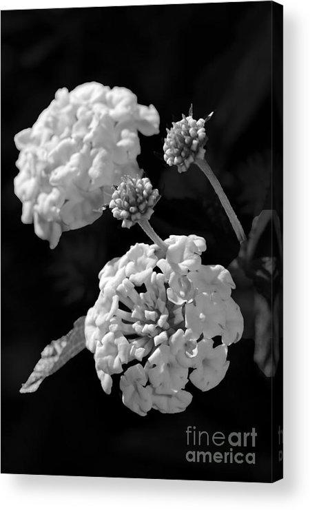 Lantana Acrylic Print featuring the photograph Lantana In Black And White by Betty LaRue