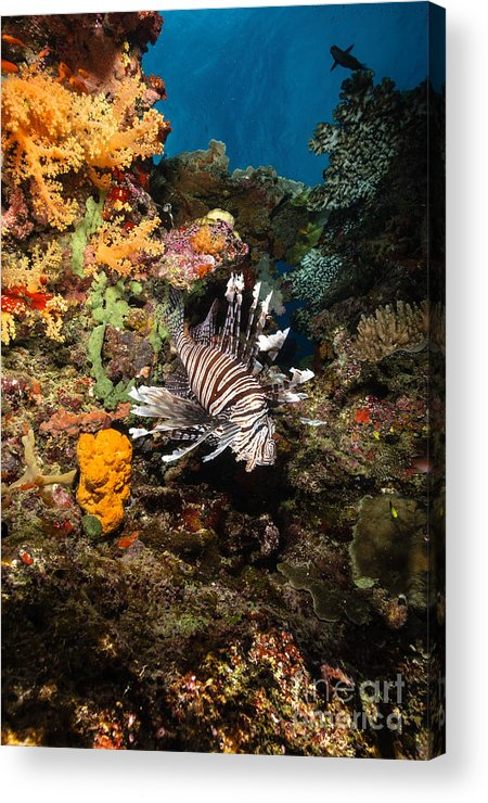 Lionfish Acrylic Print featuring the photograph Lionfish, Fiji by Todd Winner