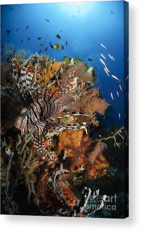Lionfish Acrylic Print featuring the photograph Lionfish, Indonesia by Todd Winner