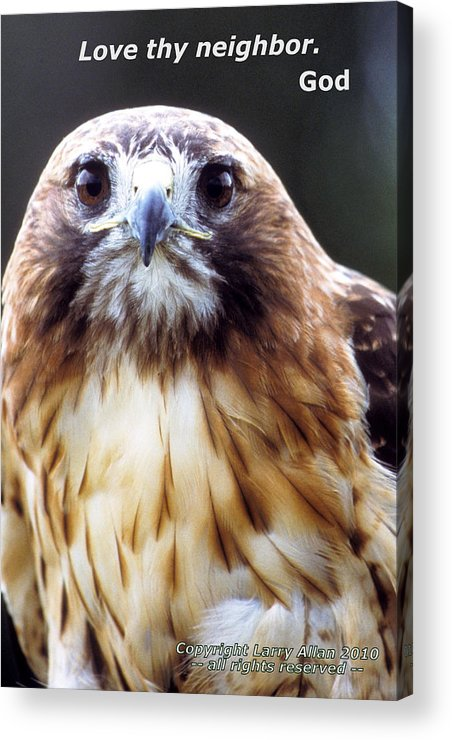 Red-tailed Hawk Acrylic Print featuring the photograph Love Thy Neighbor by Larry Allan