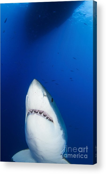 Carcharodon Carcharias Acrylic Print featuring the photograph Male Great White Shark Showing Teeth by Todd Winner