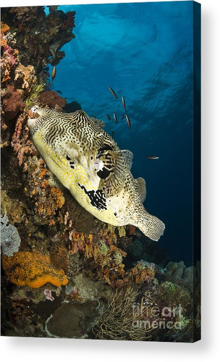 Osteichthyes Acrylic Print featuring the photograph Map Pufferfish, Indonesia by Todd Winner