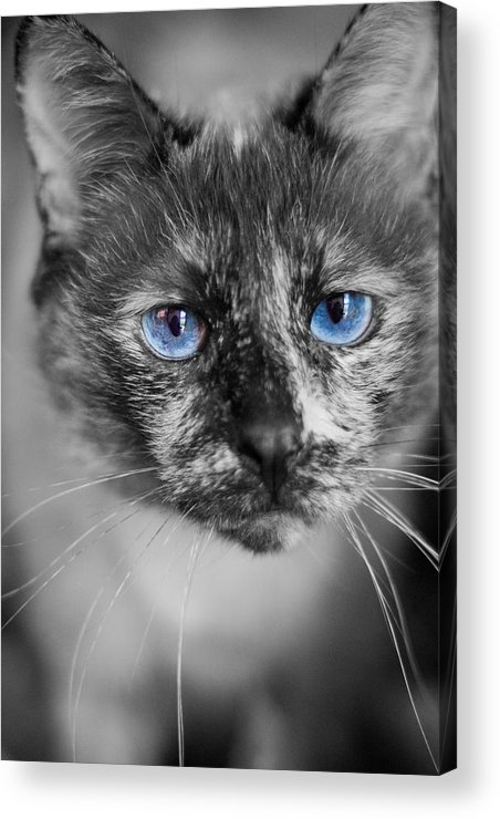 Siamese Acrylic Print featuring the photograph Miss Nermal by Kittysolo Photography