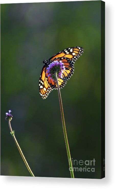 Butterfly Acrylic Print featuring the photograph Monarch Butterfly by Elena Elisseeva