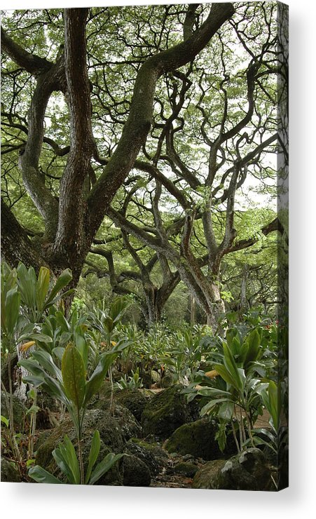 Trees Acrylic Print featuring the photograph Monkeypod Trees by Kathy Schumann