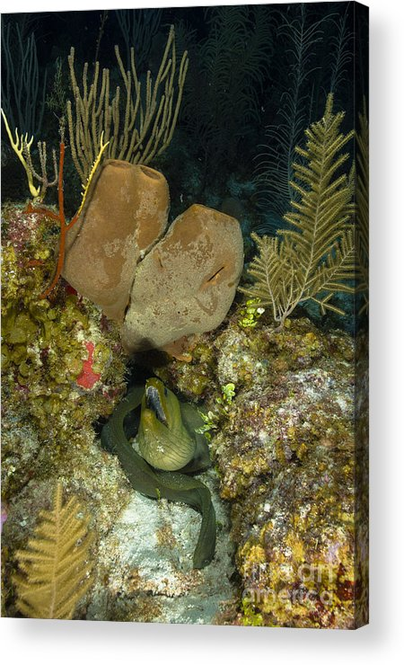 Sea Life Acrylic Print featuring the photograph Moray Eel, Belize by Todd Winner