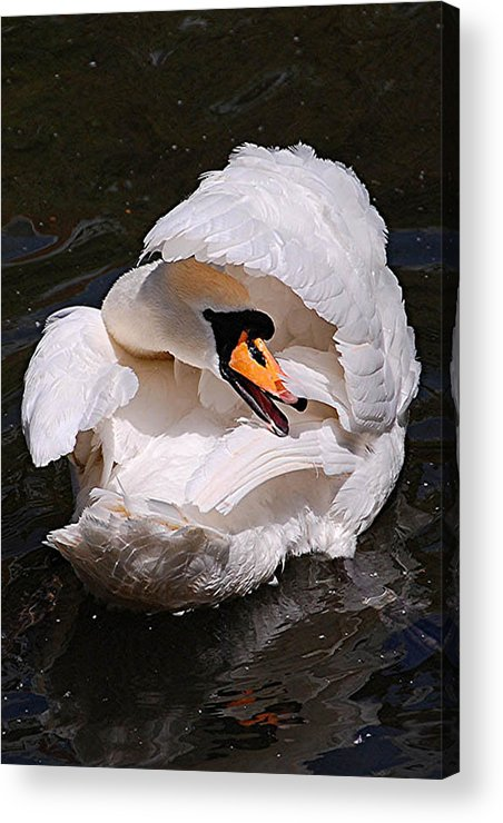 Mute Swan Acrylic Print featuring the photograph Mute Swan by Patricia Tapping