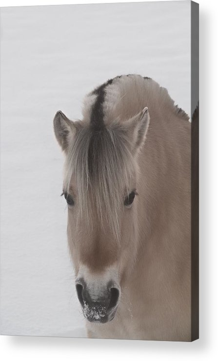 Norwegian Fjord Horse Acrylic Print featuring the photograph Norwegian Fjord by Odd Jeppesen