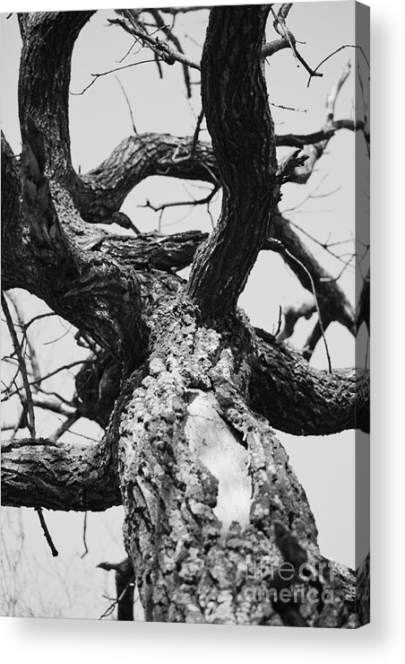 Tree Acrylic Print featuring the photograph Octopus by Gabriela Insuratelu