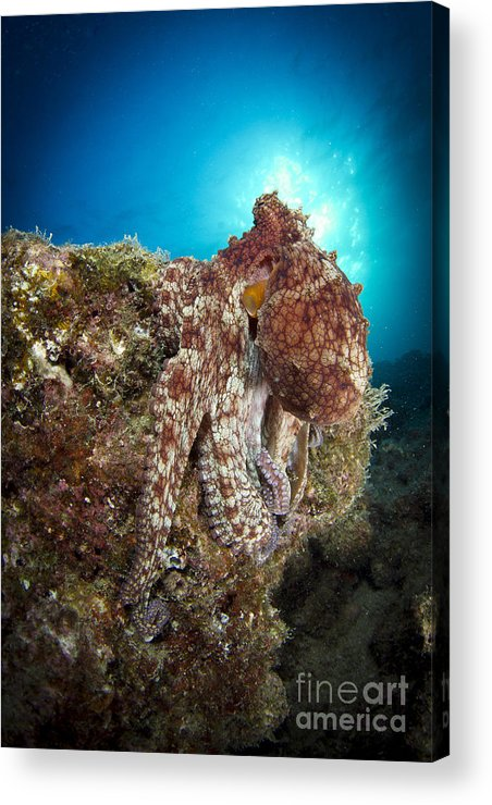 La Paz Acrylic Print featuring the photograph Octopus Posing On Reef, La Paz, Mexico by Todd Winner