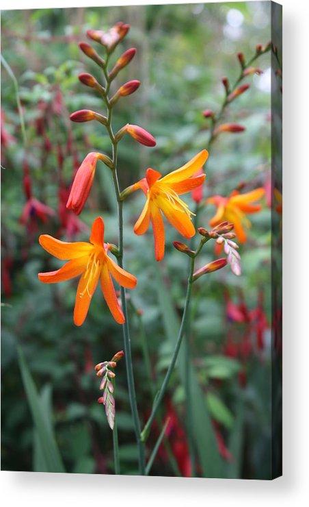 Orange Acrylic Print featuring the photograph Orange Flowers by Angela Siener