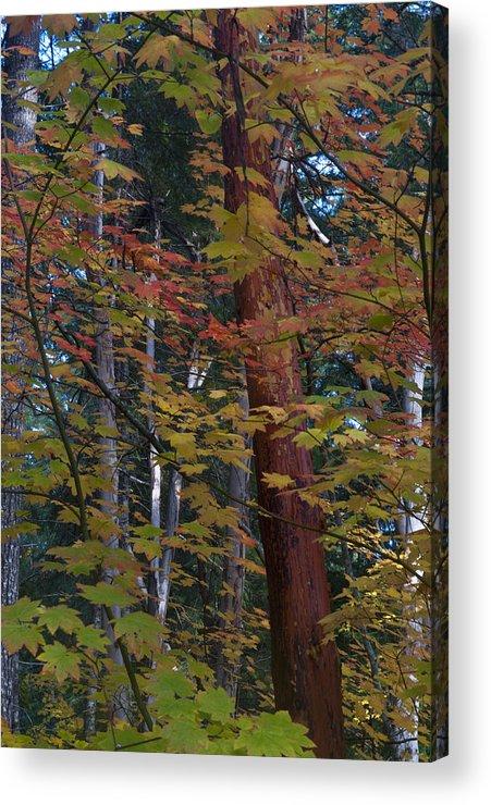 Oregon Acrylic Print featuring the photograph Oregon Madrone by Eva Jo Wu
