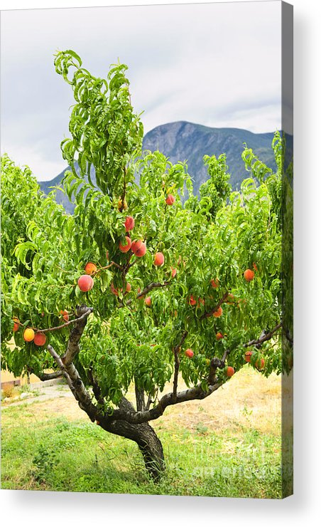 Peaches Acrylic Print featuring the photograph Peaches On Tree by Elena Elisseeva