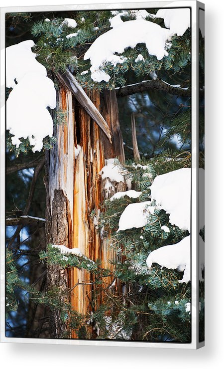Pine Trees Acrylic Print featuring the photograph Pine Bark by Lisa Spencer
