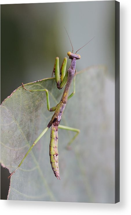 Praying Acrylic Print featuring the photograph praying Mantis by Craig Lapsley