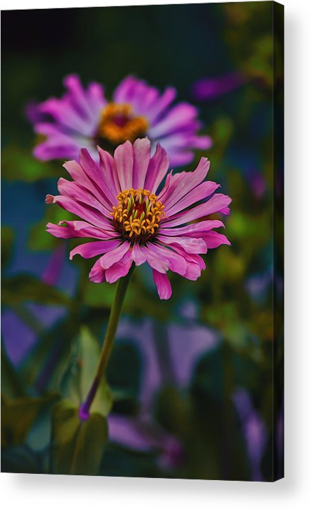 Zinnia Acrylic Print featuring the photograph Pretty Pink Petals by Bill Tiepelman