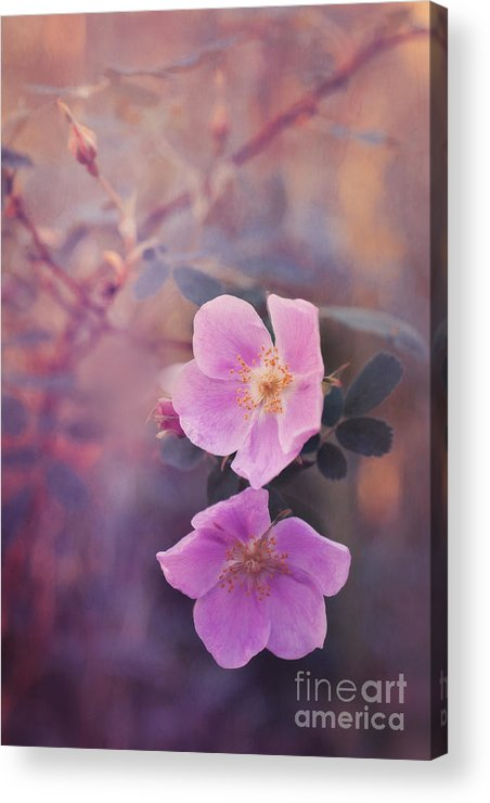 Rosa Acicularis Acrylic Print featuring the photograph Prickly Rose by Priska Wettstein