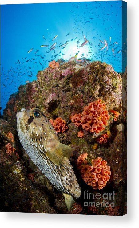 El Bajo Acrylic Print featuring the photograph Pufferfish And Reef, La Paz Mexico by Todd Winner