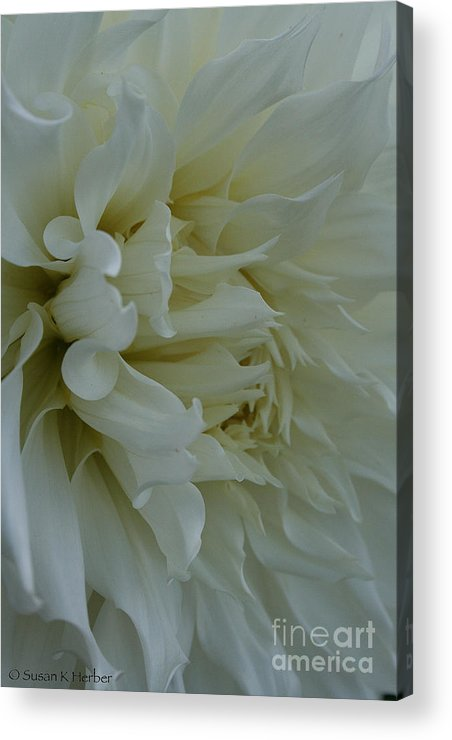 Landscape Acrylic Print featuring the photograph Pure Dahlia by Susan Herber