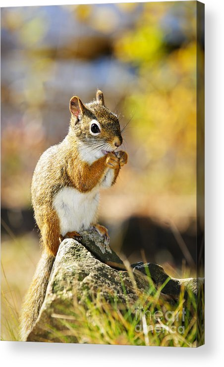Red Squirrel Acrylic Print featuring the photograph Red Squirrel by Elena Elisseeva