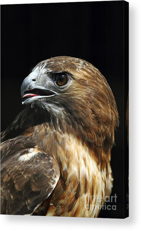 Red-tailed Hawk Acrylic Print featuring the photograph Red-tailed Hawk Portrait by John Van Decker