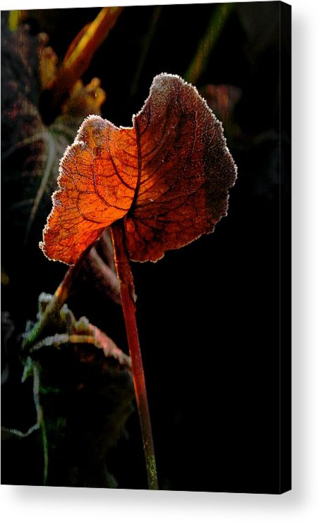 Leaf Acrylic Print featuring the photograph Red Wing by Odd Jeppesen