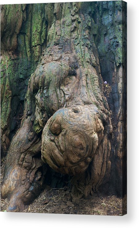 Redwood Acrylic Print featuring the photograph Redwood Burl by Eva Jo Wu