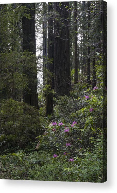 Redwood Acrylic Print featuring the photograph Redwoods 3 by Eva Jo Wu