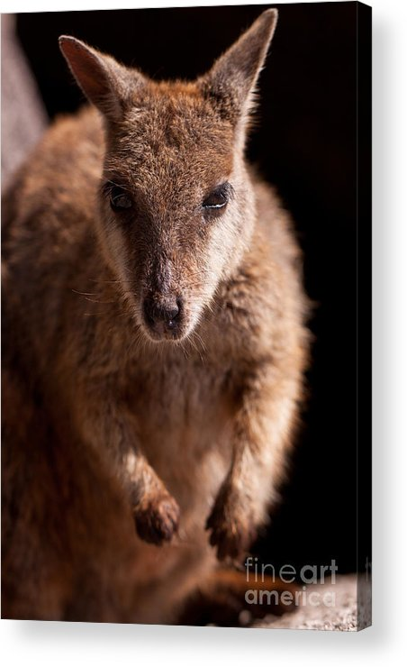 Wallaby Acrylic Print featuring the photograph Rock Wallaby by Johan Larson