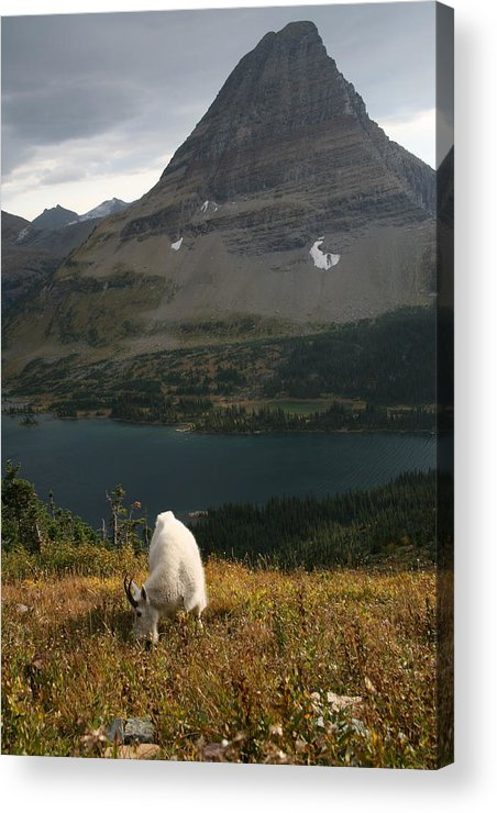 Mountain Goat Acrylic Print featuring the photograph Rocky Mountain Goat by Michael Elam
