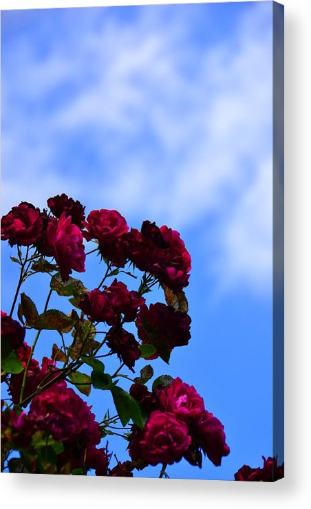 Rose Acrylic Print featuring the photograph Roses In The Sky by Bonnie Myszka