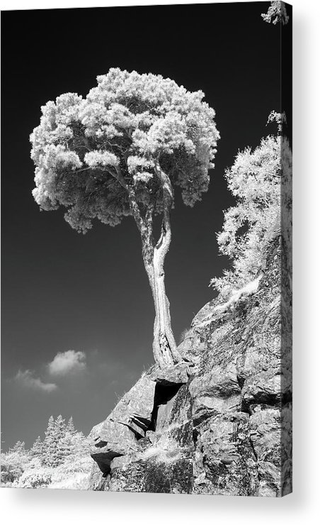 Vertical Acrylic Print featuring the photograph Scots Pine Tree by Taken by Timothy Ball