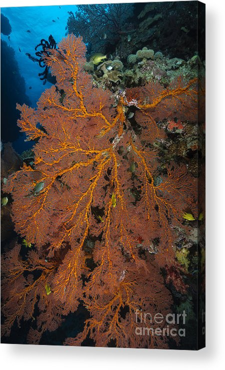 Pacific Ocean Acrylic Print featuring the photograph Sea Fan, Fiji by Todd Winner