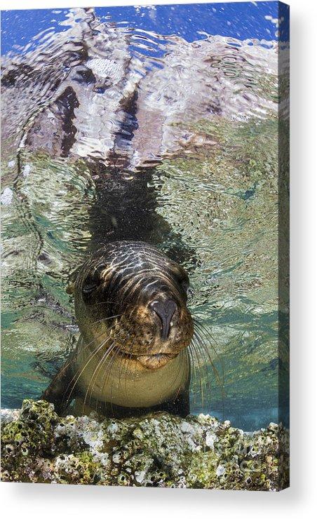 California Sea Lion Acrylic Print featuring the photograph Sea Lion Portrait, Los Islotes, La Paz by Todd Winner