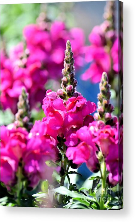 Snapdragon Acrylic Print featuring the photograph Snapdragon Sunshine by Maria Urso